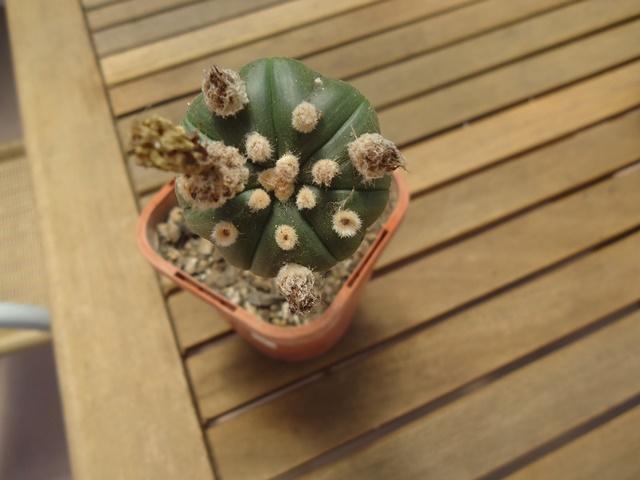 Astro plants for sale. Dsc02612
