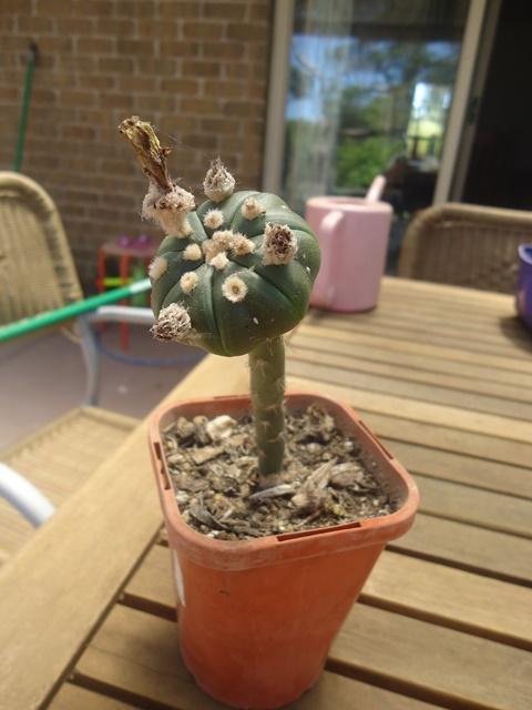 Astro plants for sale. Dsc02613
