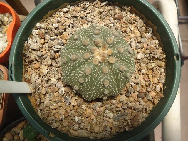 Astro plants for sale. Dsc02614