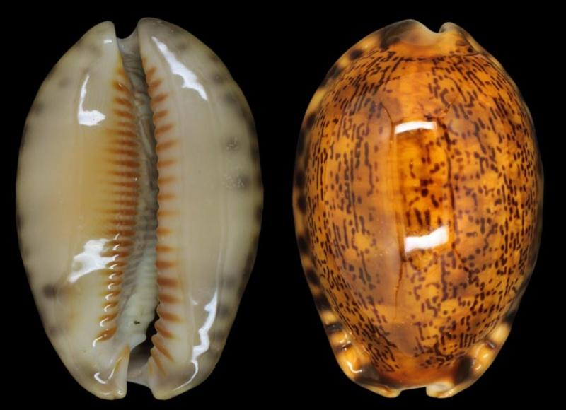 Mauritia arabica arabica - (Linnaeus, 1758)  - Rusty Cyp-ar10