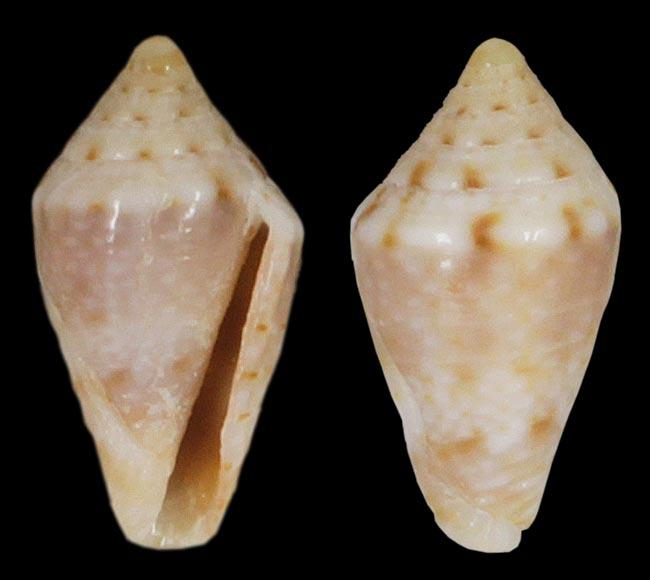 Conidae Lilliconus sagei  (Korn & G. Raybaudi Massilia, 1993) Sagei_10