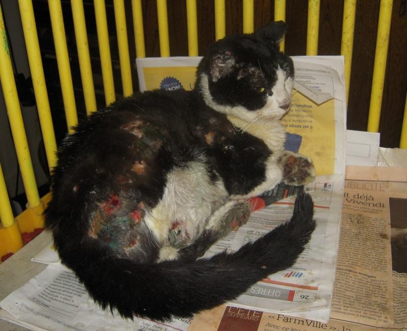 Trouvé Chat blanc et noir brûlé à Fontenay aux Roses (92) Dscn3511