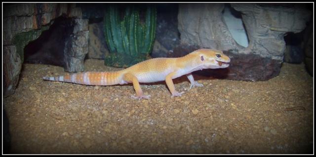 voilà Tabasco gecko leopard  104_5216