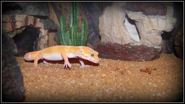 voilà Tabasco gecko leopard  104_5217