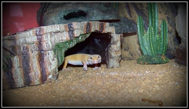 voilà Tabasco gecko leopard  104_5218