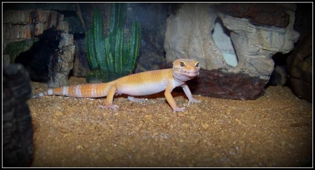 voilà Tabasco gecko leopard  104_5219