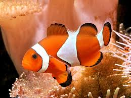 amphiprion picasso  Clonw10