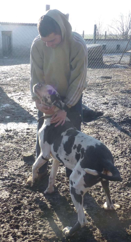 JENNY, F-Type DOGUE ALLEMAND, née 2013 (Etela) Prise en charge Asso Dogue Allemand Notre Jenny_10