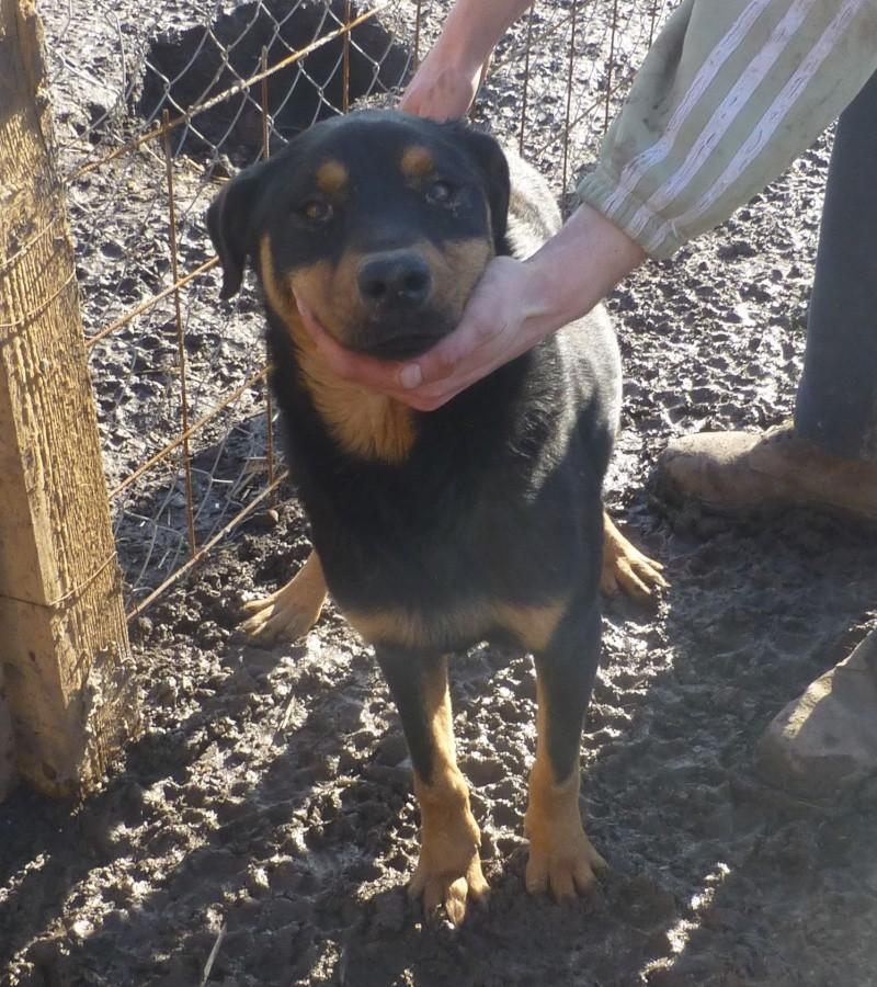 chien 39 - TAMS, M-X, taille moyenne, env. 23 kg, né 2012 (Fourrière BACKA) Pris en charge Animals Rescue No3810