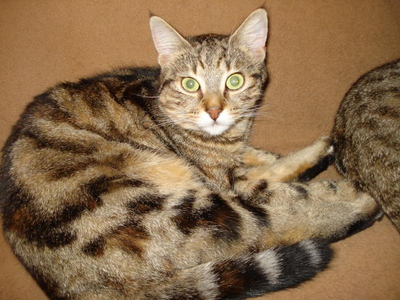 Tchad, femelle type européenne tabby marbrée née le 10/04/2014 11_jan10