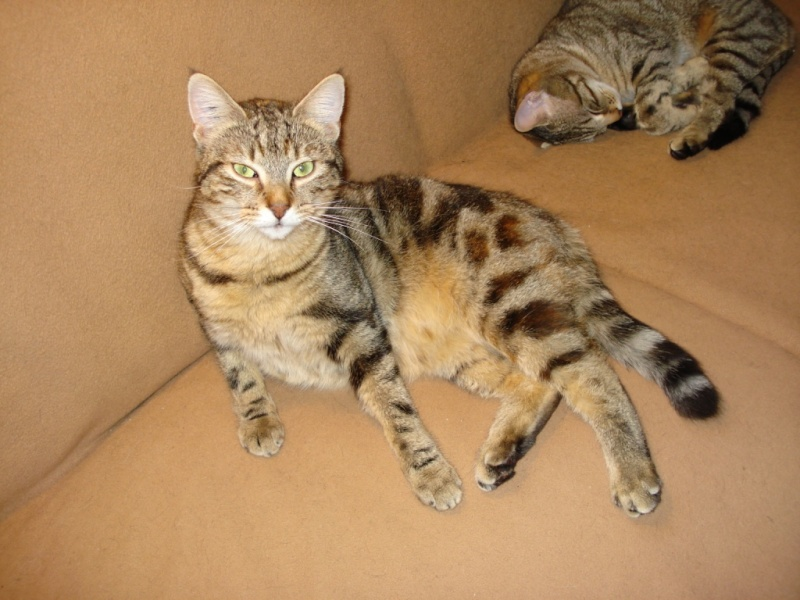 Tchad, femelle type européenne tabby marbrée née le 10/04/2014 Tchad_10