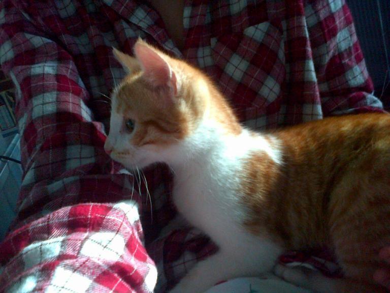 Miel (anciennement Luffy), mâle type européen roux et blanc né 15/10/2014 - Page 3 V_0c2e10