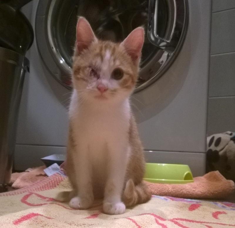 Miel (anciennement Luffy), mâle type européen roux et blanc né 15/10/2014 Wp_20111