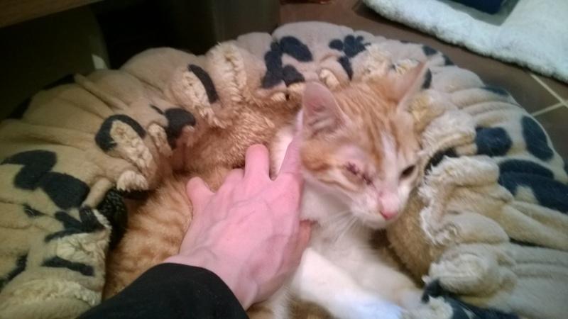 Miel (anciennement Luffy), mâle type européen roux et blanc né 15/10/2014 Wp_20115