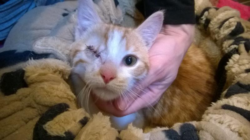 Miel (anciennement Luffy), mâle type européen roux et blanc né 15/10/2014 Wp_20116