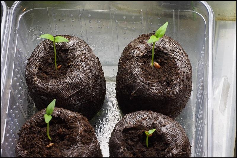 solanaceae tomaten chili aber auch petunien und andere sch nheiten seite 19. Black Bedroom Furniture Sets. Home Design Ideas