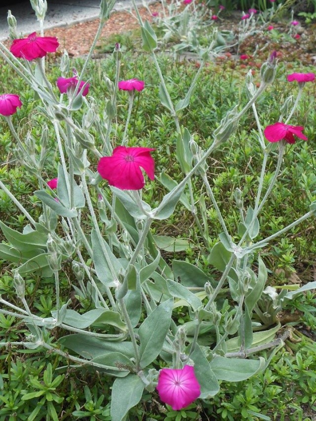 le nom ne me revient plus.../ Lychnis coronaria Fleurs11