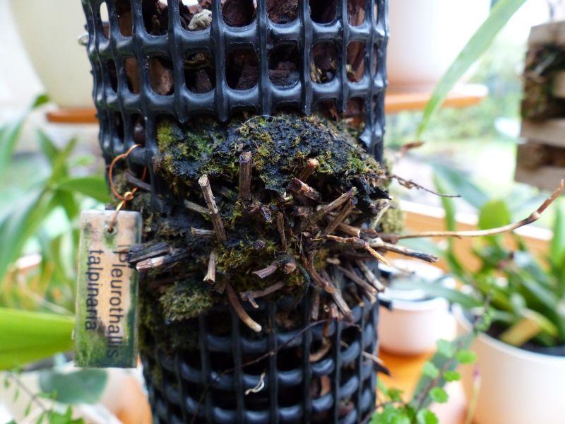 Pleurothallis talpinaria 0110