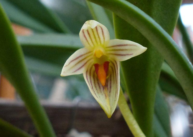 Bulbophyllum affine 0314