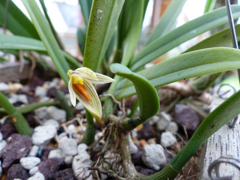 Bulbophyllum affine 0414
