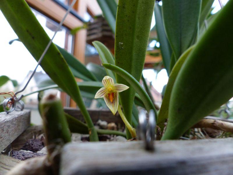 Bulbophyllum affine 0514