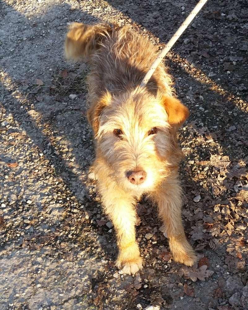 LUCKY  x Fox terrier Fauve 250269810605308  20141216