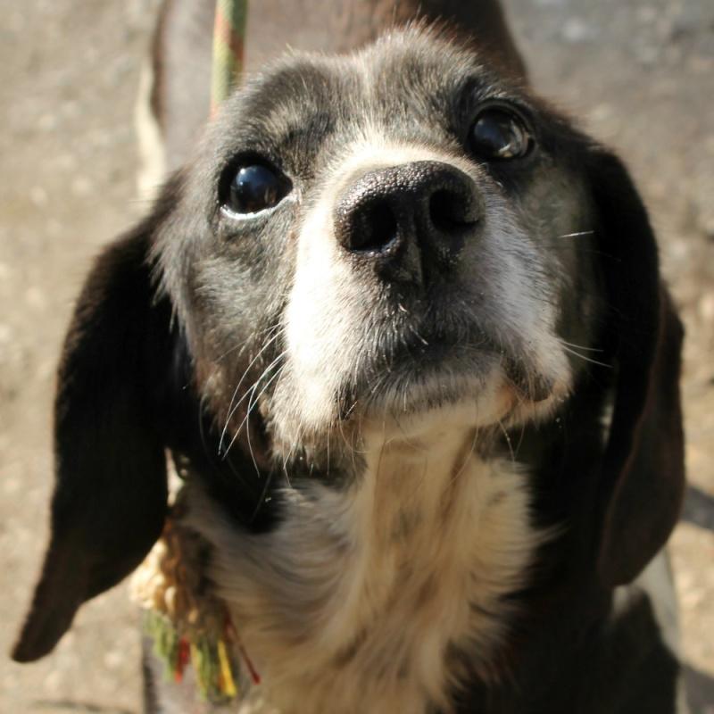 CACHOU beagle croisé épagneul 2GPZ237 Cachou10