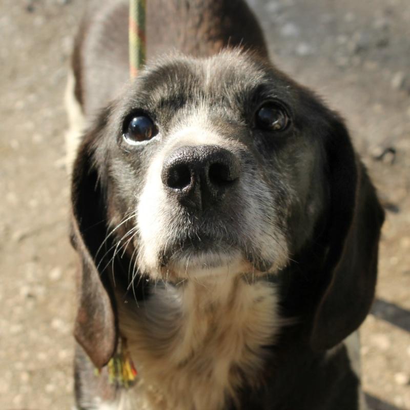 CACHOU beagle croisé épagneul 2GPZ237 Cachou11