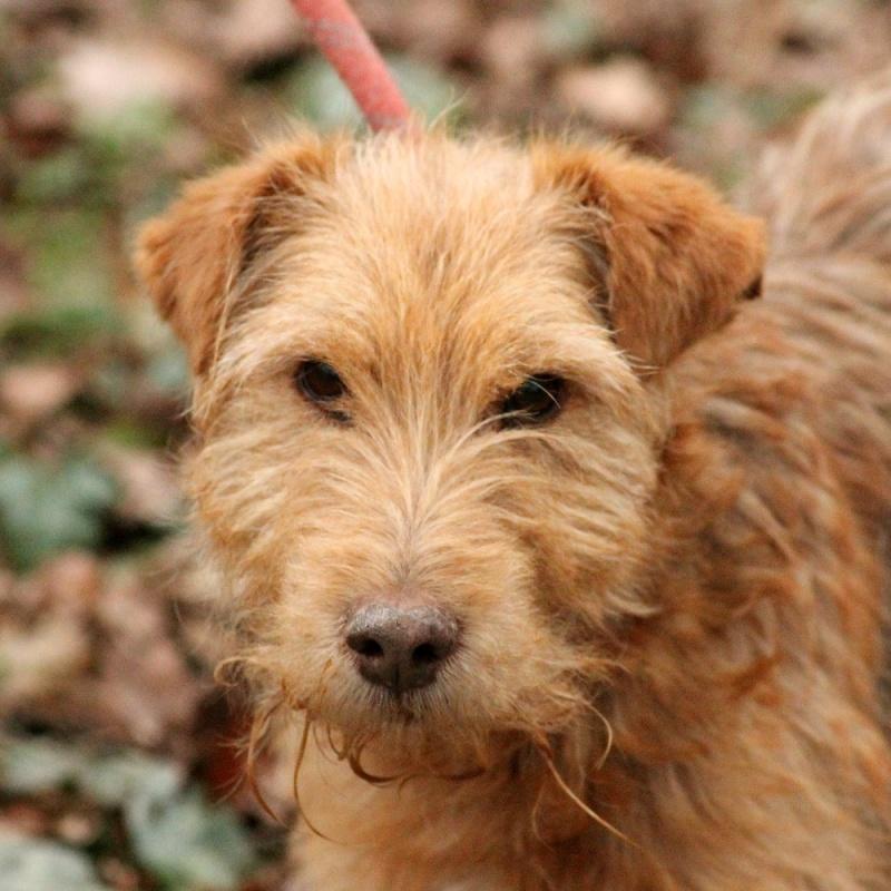 LUCKY  x Fox terrier Fauve 250269810605308  Lucky10