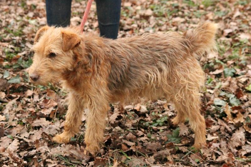 LUCKY  x Fox terrier Fauve 250269810605308  Lucky310