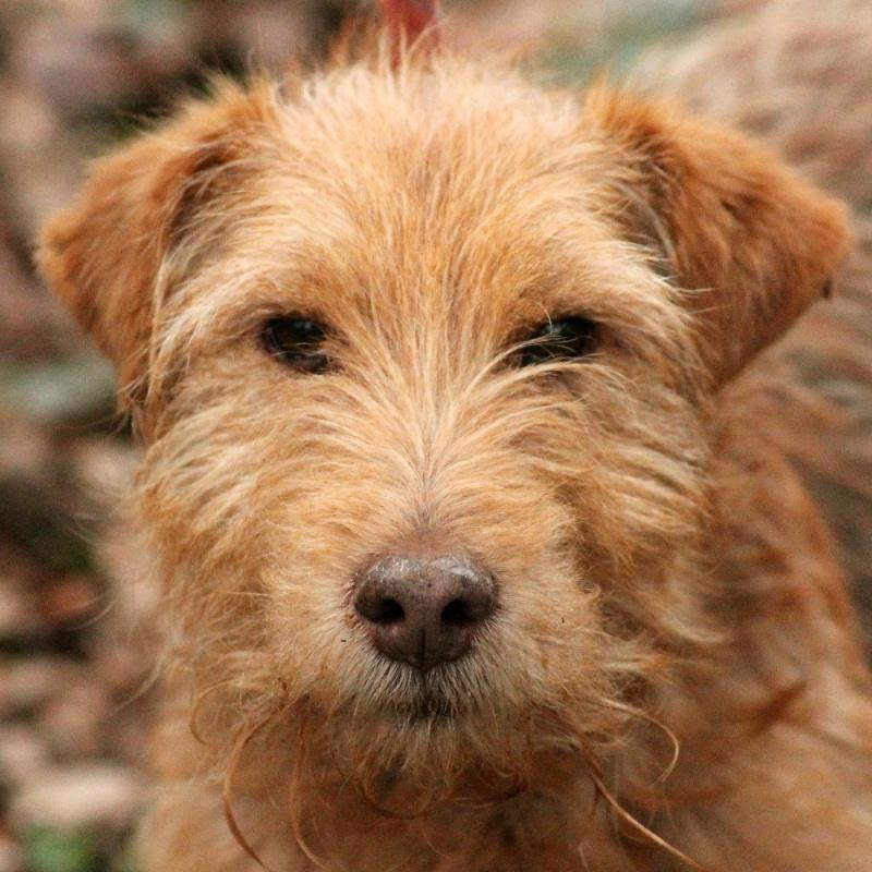 LUCKY  x Fox terrier Fauve 250269810605308  Lucky510