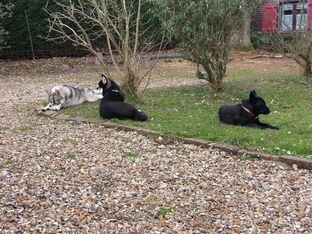 IENA RENOMMEE LILOU Husky femelle 14 mois PART27 ADOPTEE 20150310