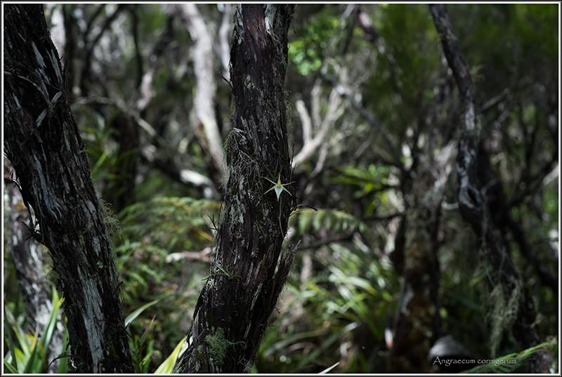 deux endémiques de saison . Cornig13