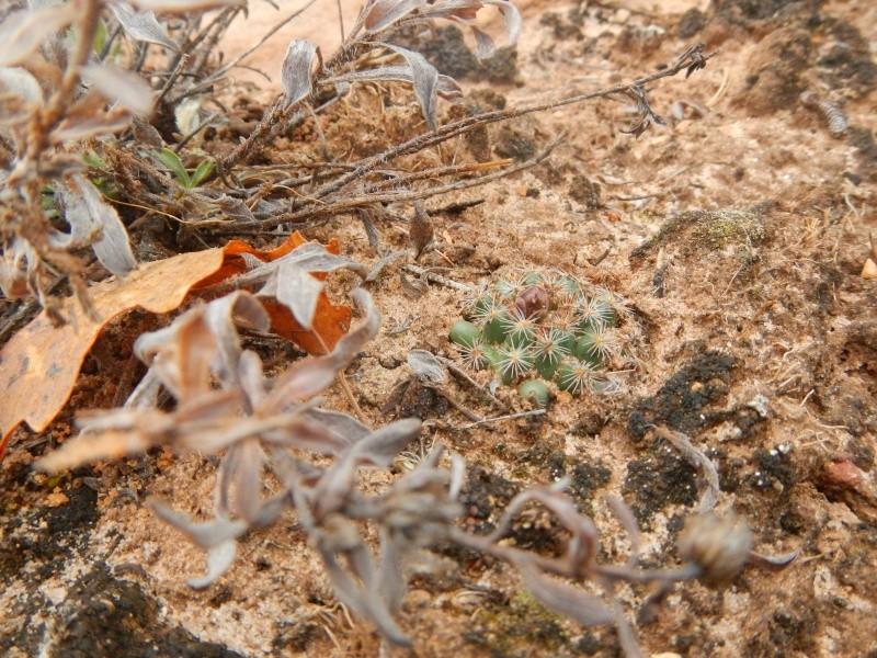 Pediocactus simpsonii Dscn8010