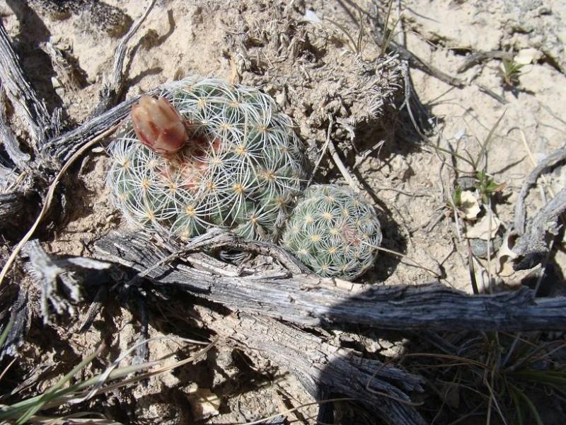 Pediocactus simpsonii K-dsc171