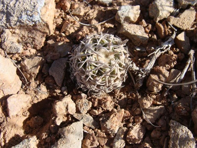 Pediocactus peeblesianus ssp. fickeisenii  K-dsc284