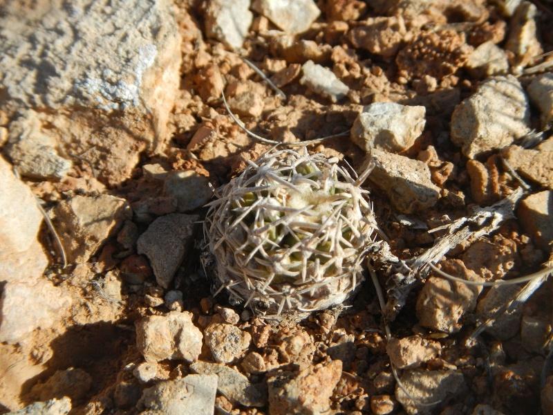 Pediocactus peeblesianus ssp. fickeisenii  K-dsc287