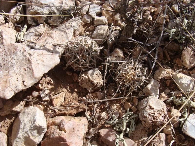 Pediocactus peeblesianus K-dsc314