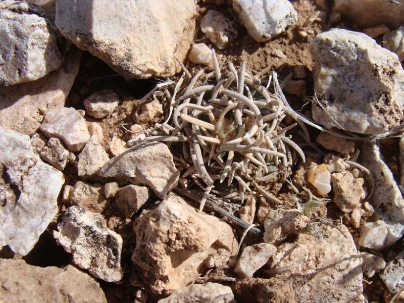Pediocactus peeblesianus K-dsc316