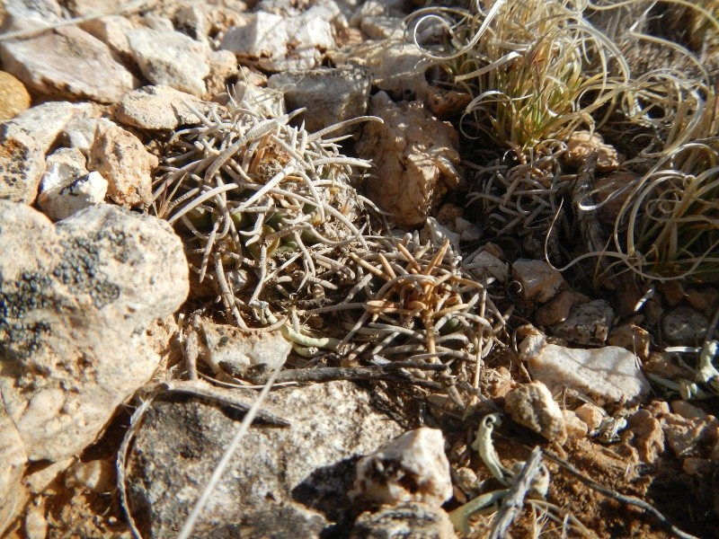 Pediocactus peeblesianus K-dsc319