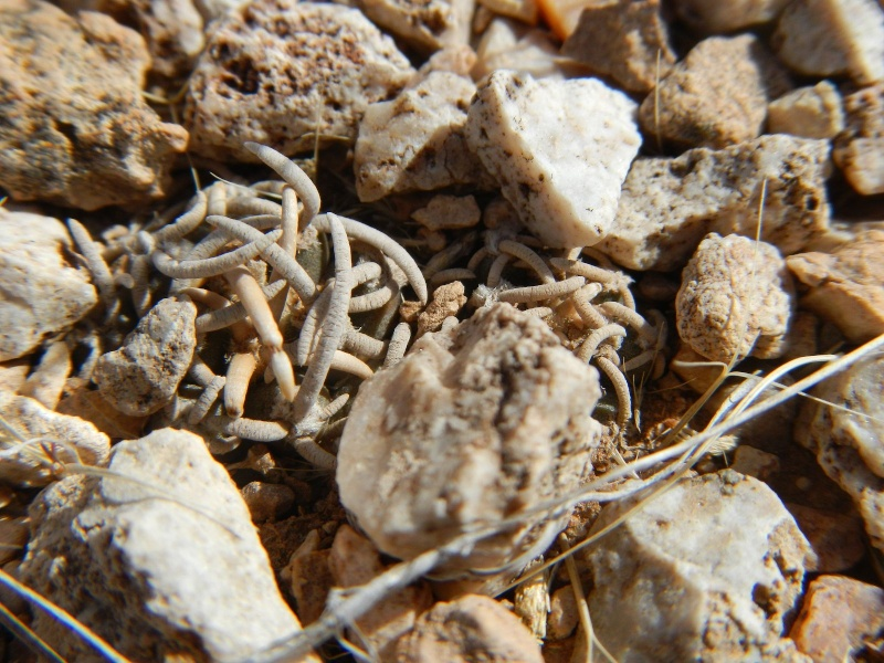 Pediocactus peeblesianus K-dsc320