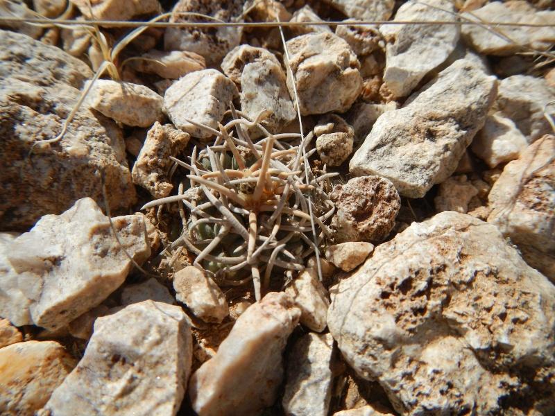 Pediocactus peeblesianus K-dsc321