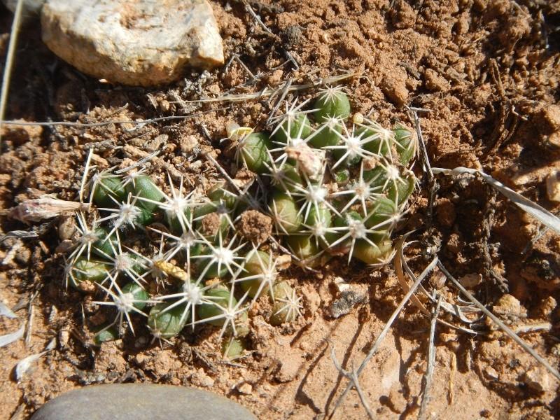 Escobaria missouriensis var. marstonii K-dsc324