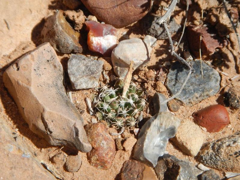Escobaria missouriensis var. marstonii K-dsc325
