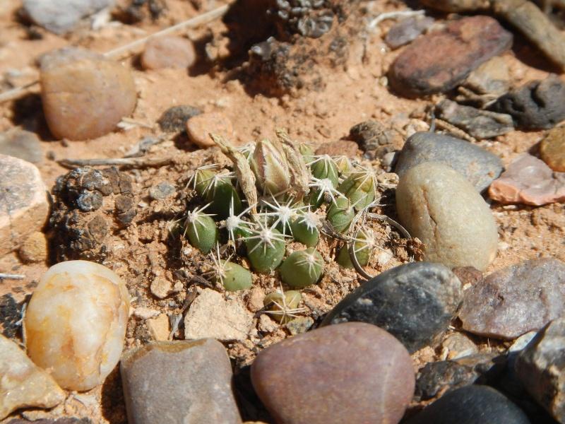 Escobaria missouriensis var. marstonii K-dsc326