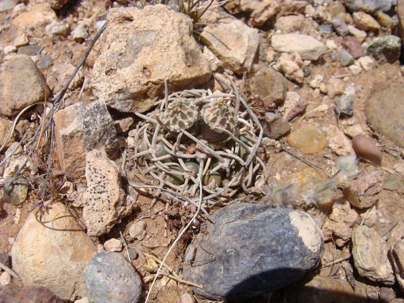 Pediocactus peeblesianus K-dsc334
