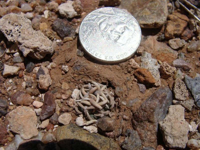 Pediocactus peeblesianus K-dsc335