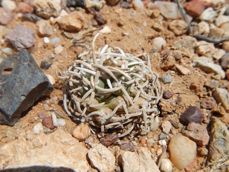 Pediocactus peeblesianus K-dsc339