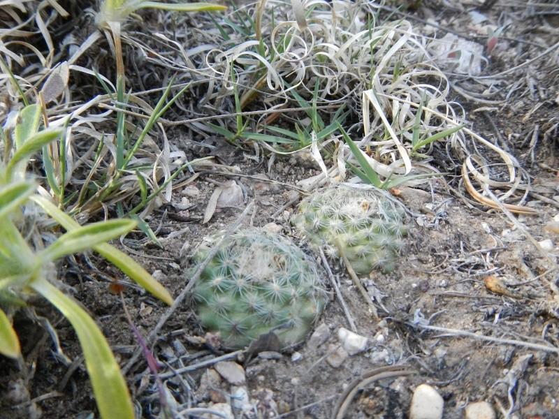 Pediocactus paradinei  K-dsc382