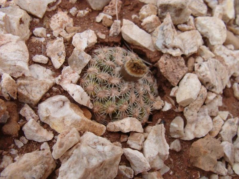 Pediocactus bradyii K-dsc387